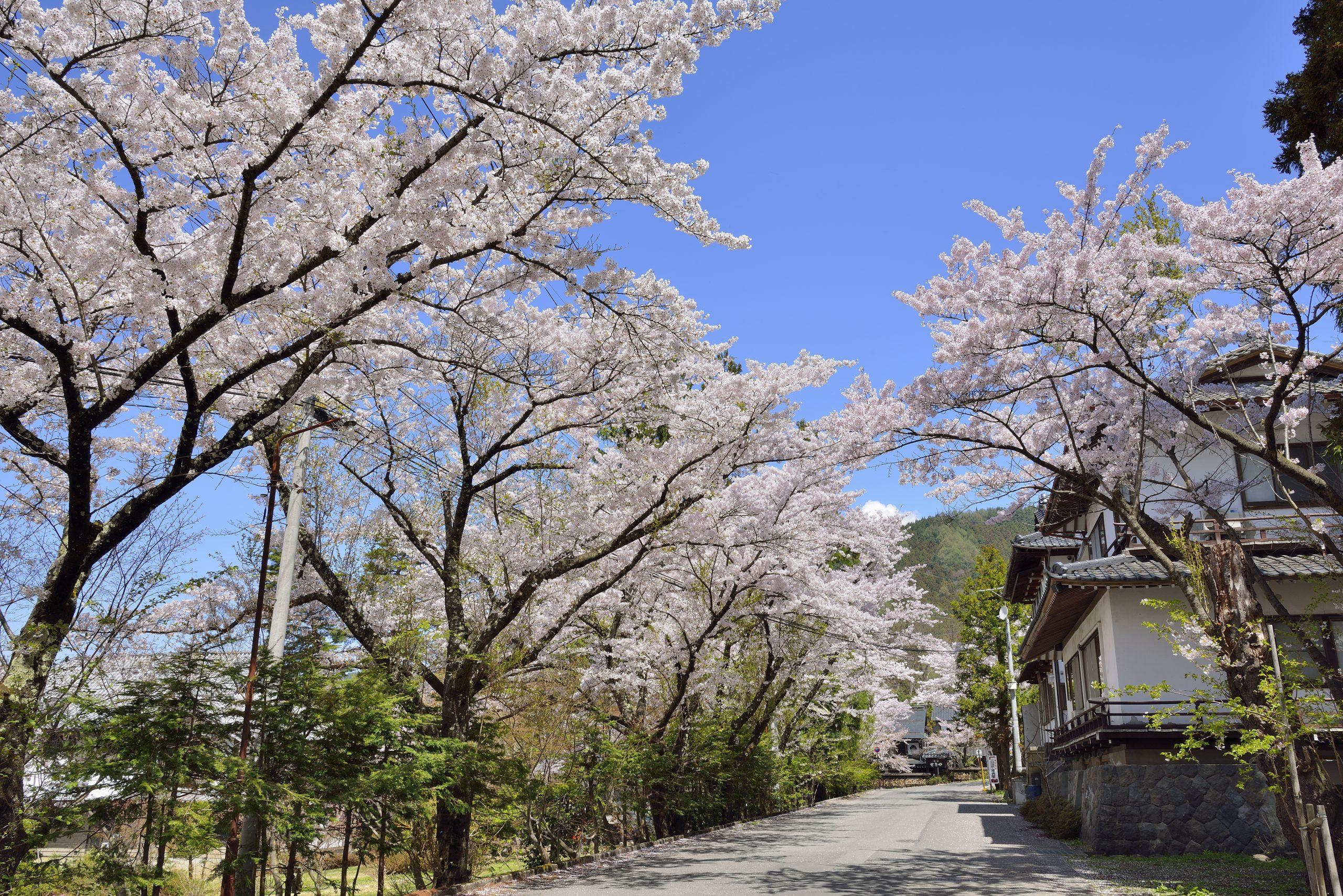 kanbayashi-onsen-cherry-blossom-yamanouchi