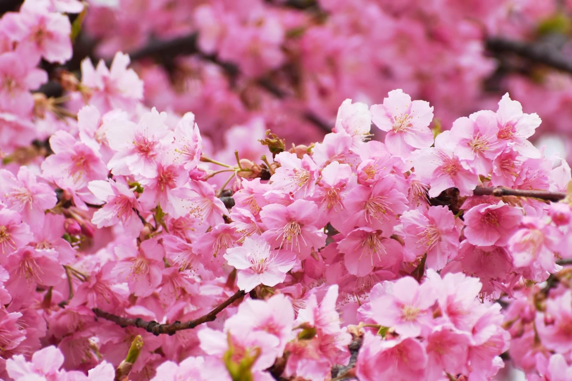 shinjuku-gyoen-tokyo-blossoms