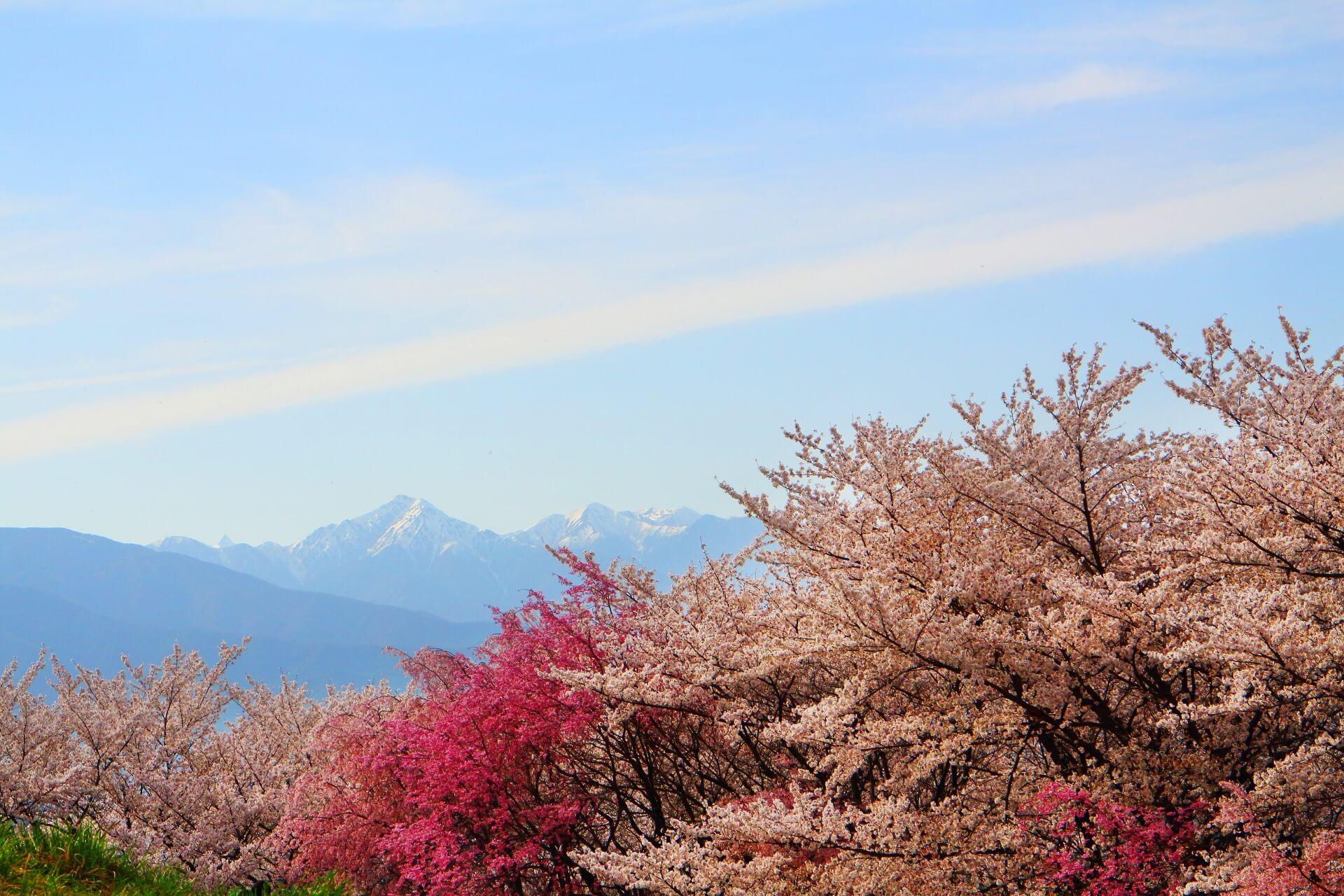 matsumoto-koboyama-blossoms