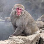 雪猴等級制度:頂級猴王