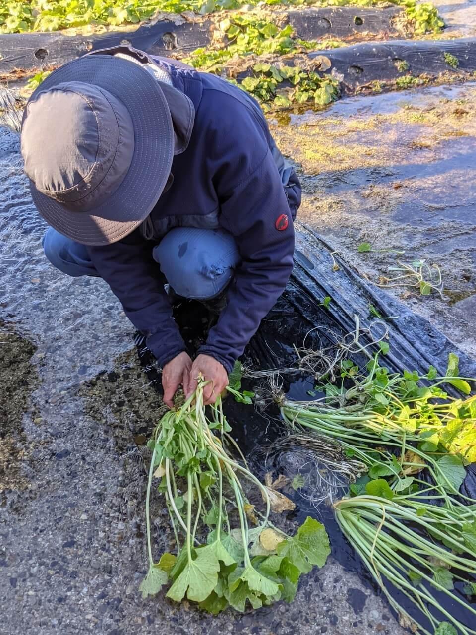 azumino-wasabi-picking