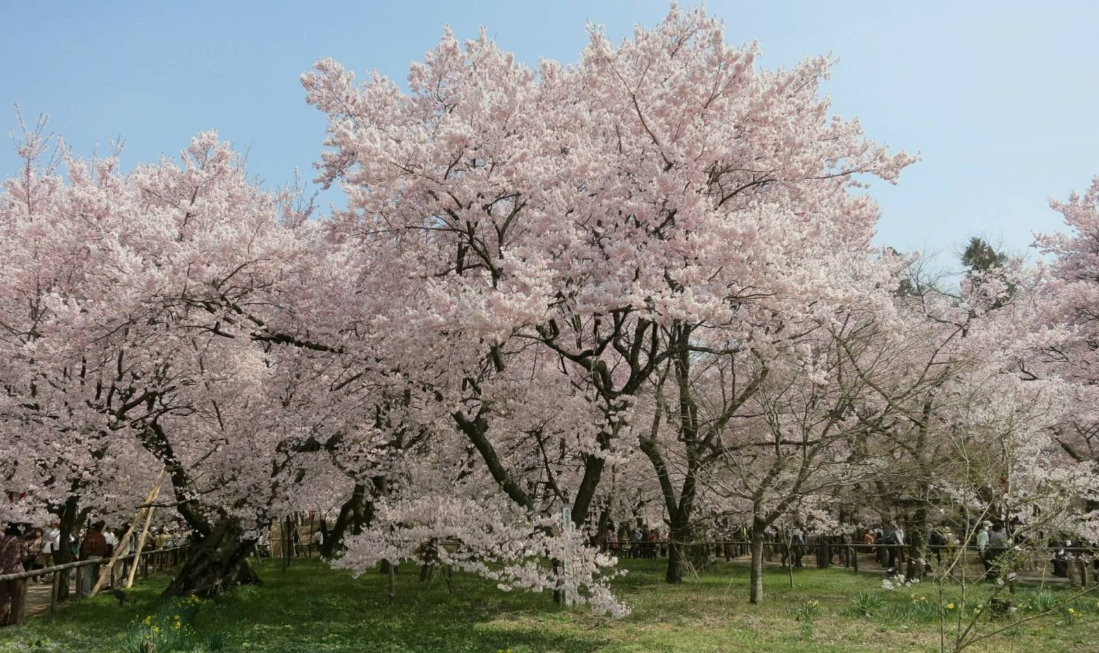 takato-castle-park-cherry-blossom
