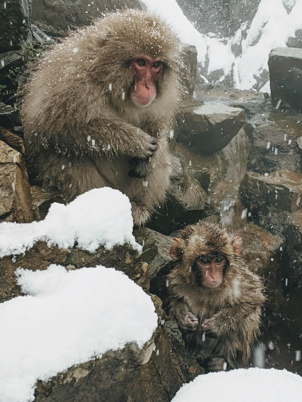 jigokudani-monkey-park-february-2021
