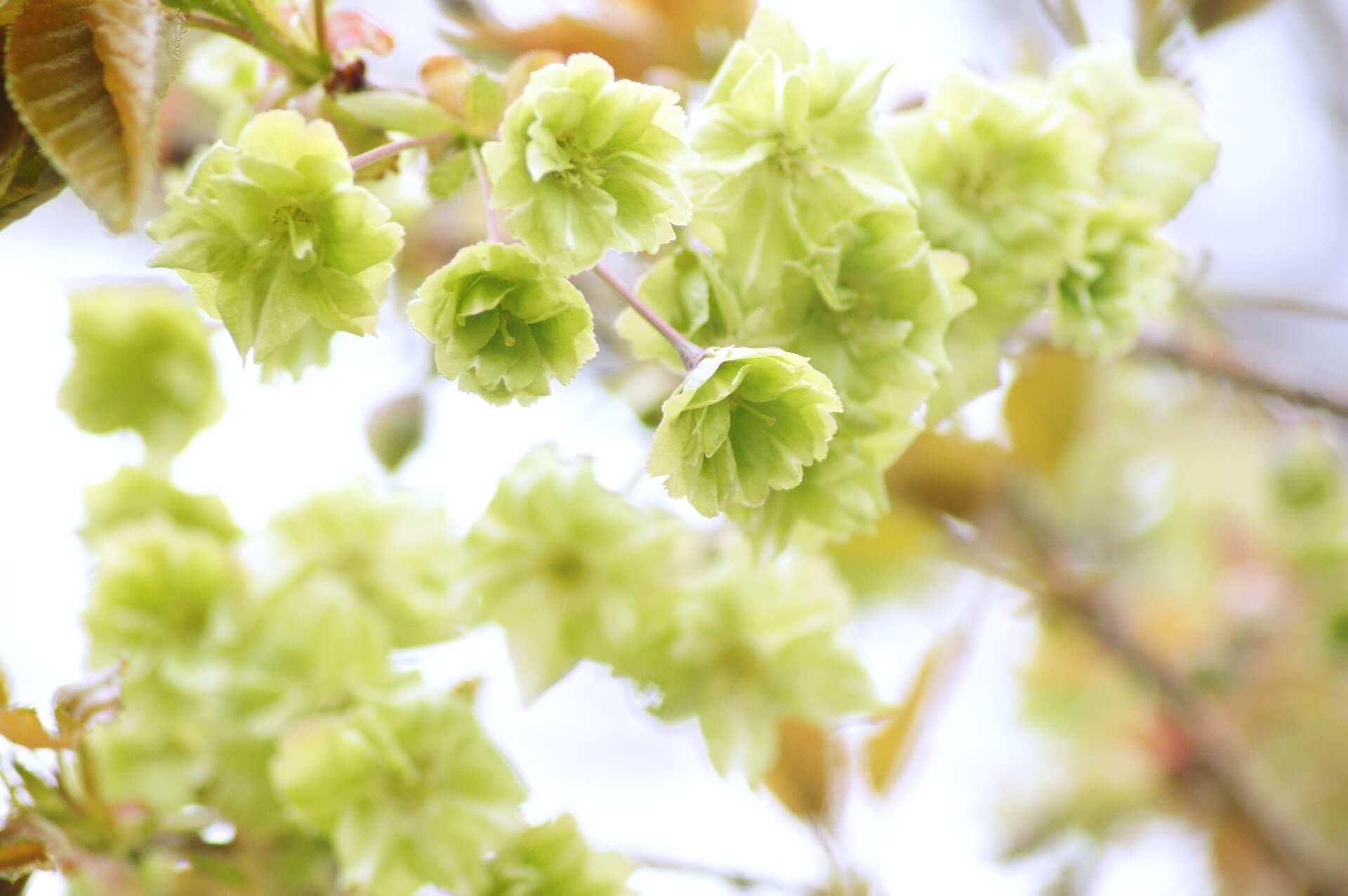 gyoikozakura-cherry-blossom