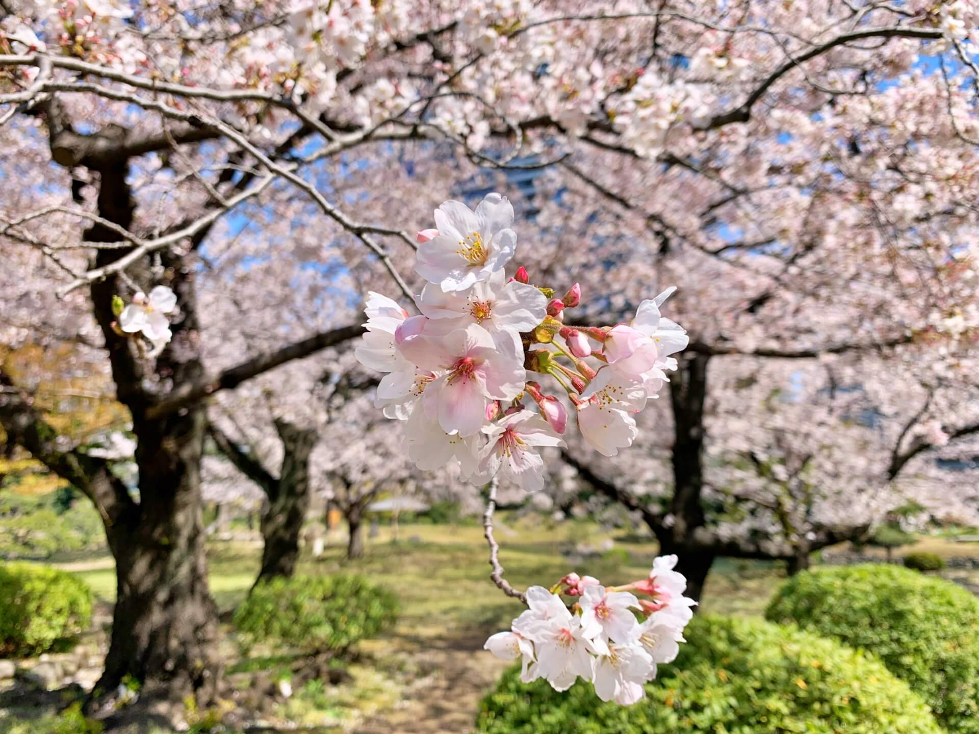somei-yoshino-cherry-blossom