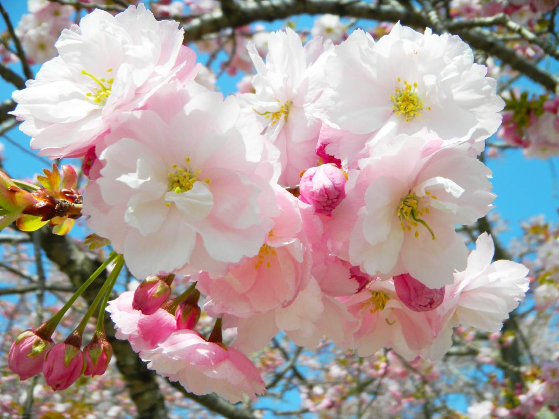 yaezakura-cherry-blossom