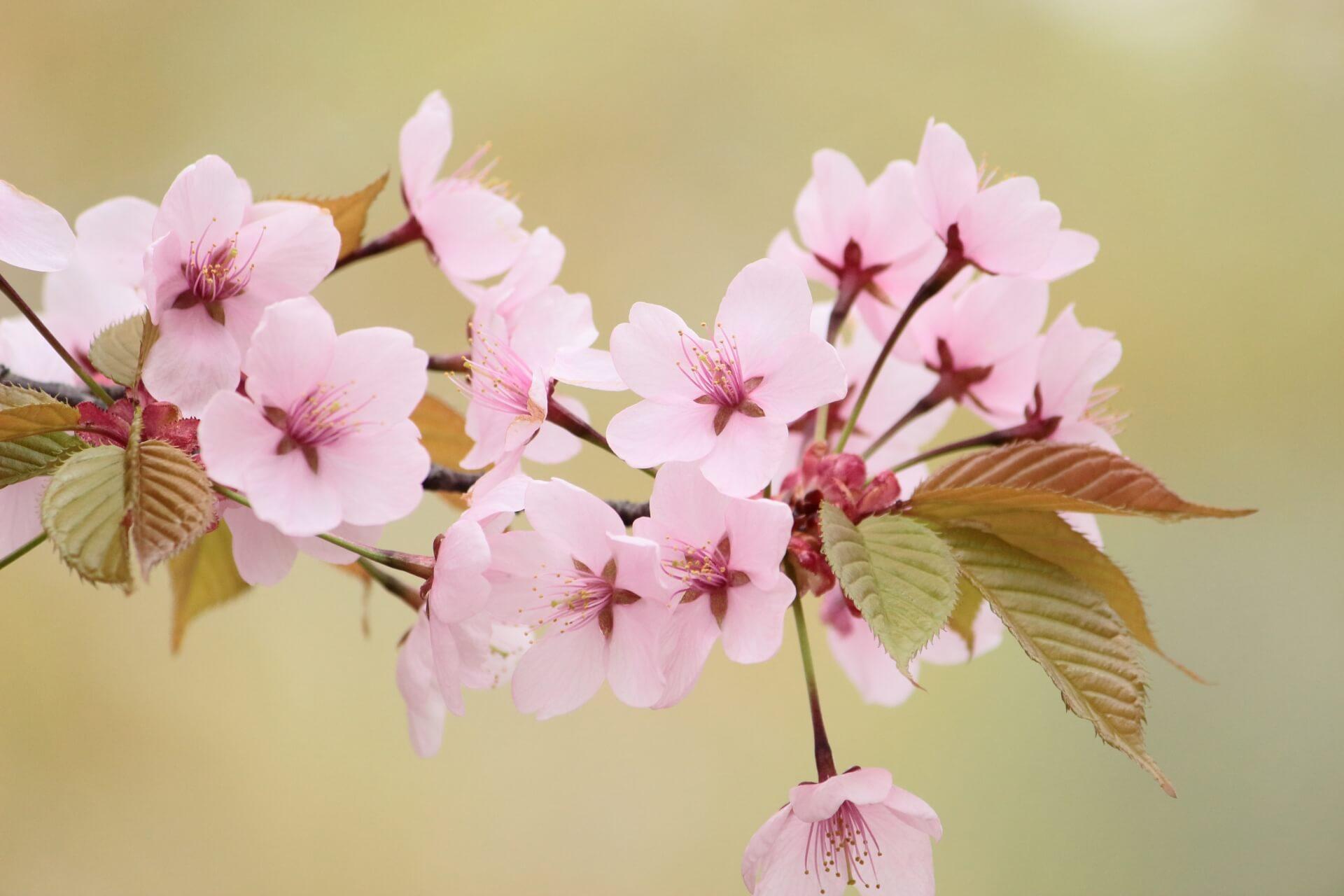 yamazakura-cherry-blossom