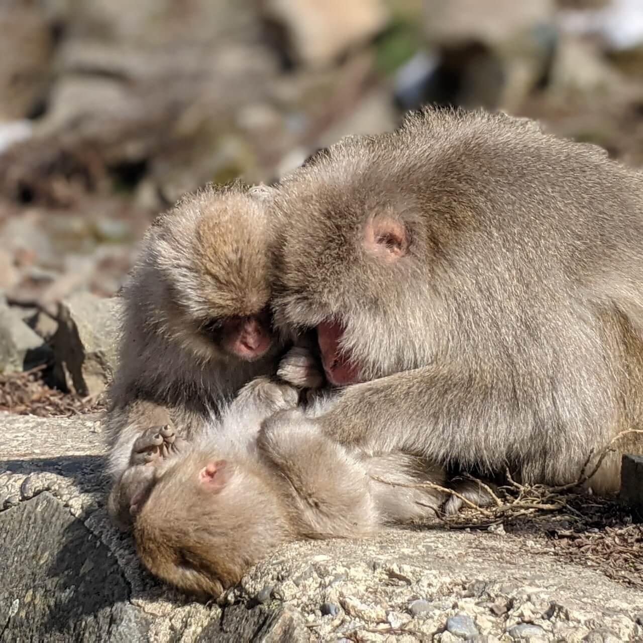 jigokudani-monkey-park-march-2021