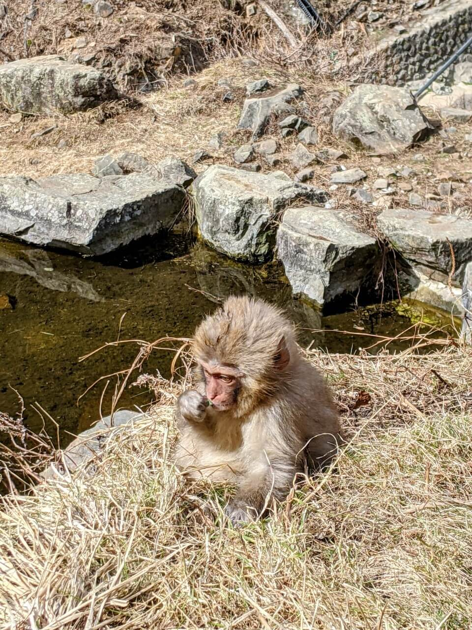 jigokudani-monkey-park-march-2021