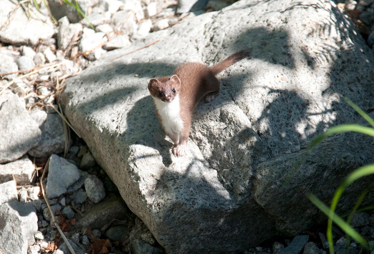 stoat-okojo-wildlife