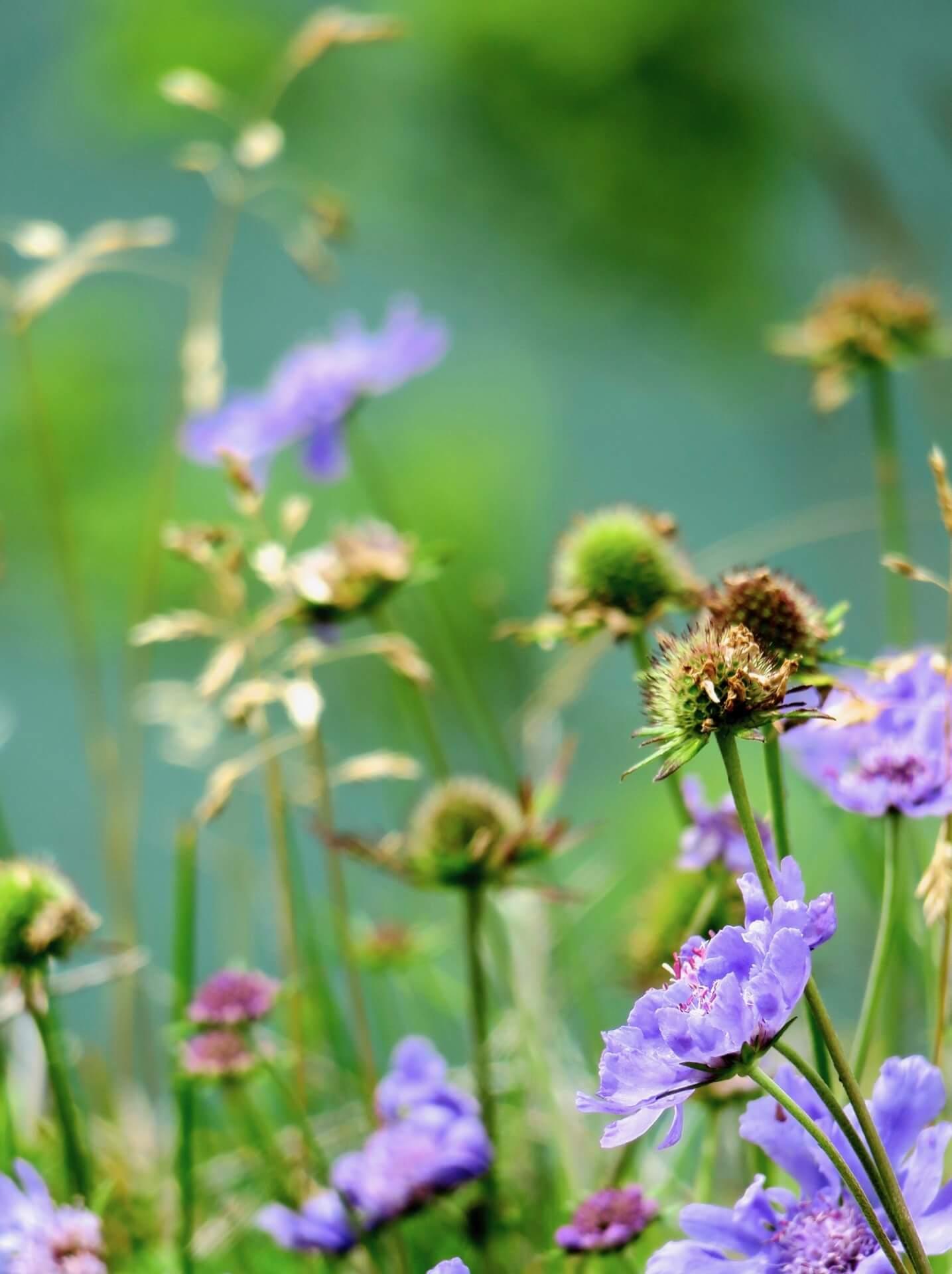 hakuba-wild-flower