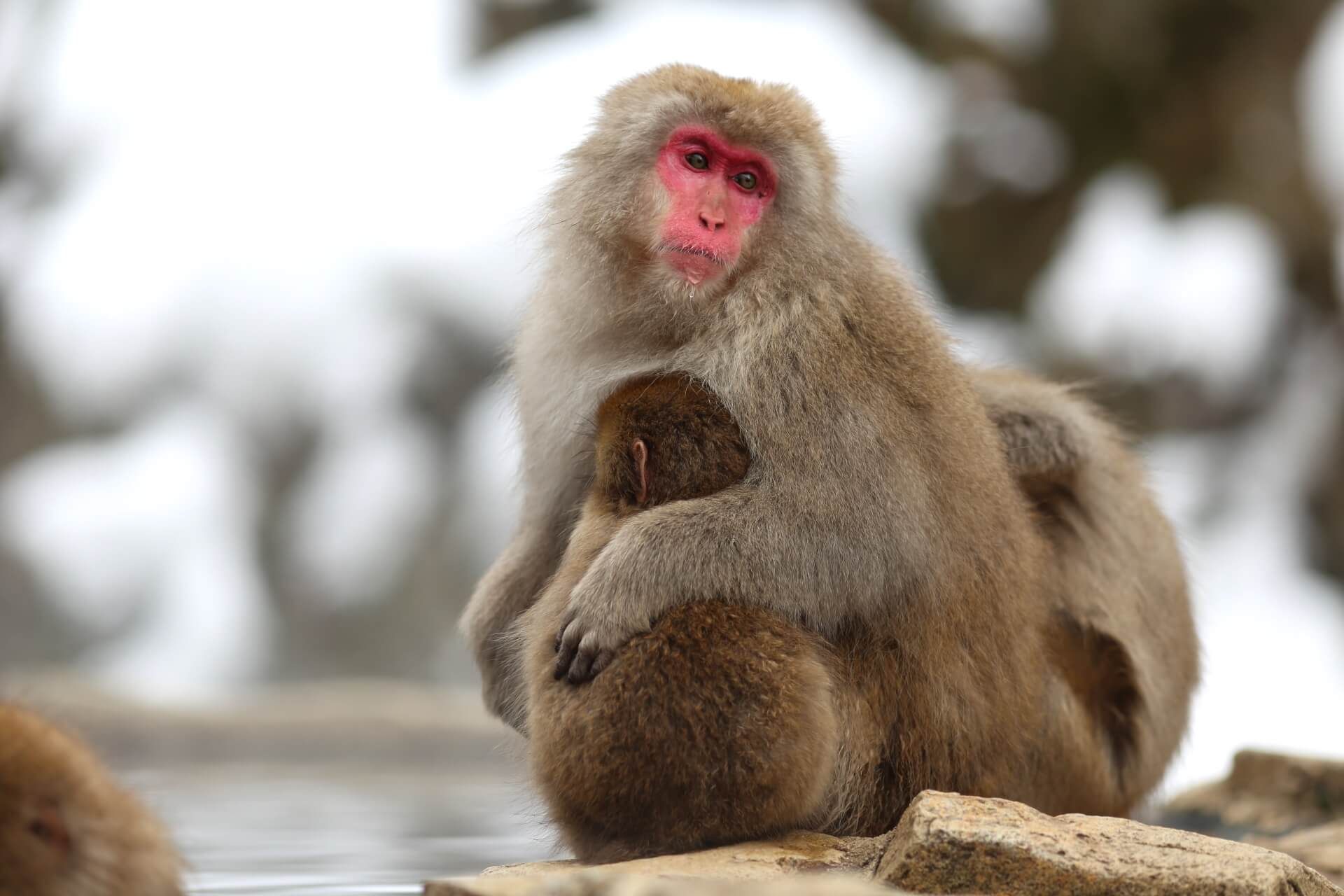 jigokudani-monkey-winter