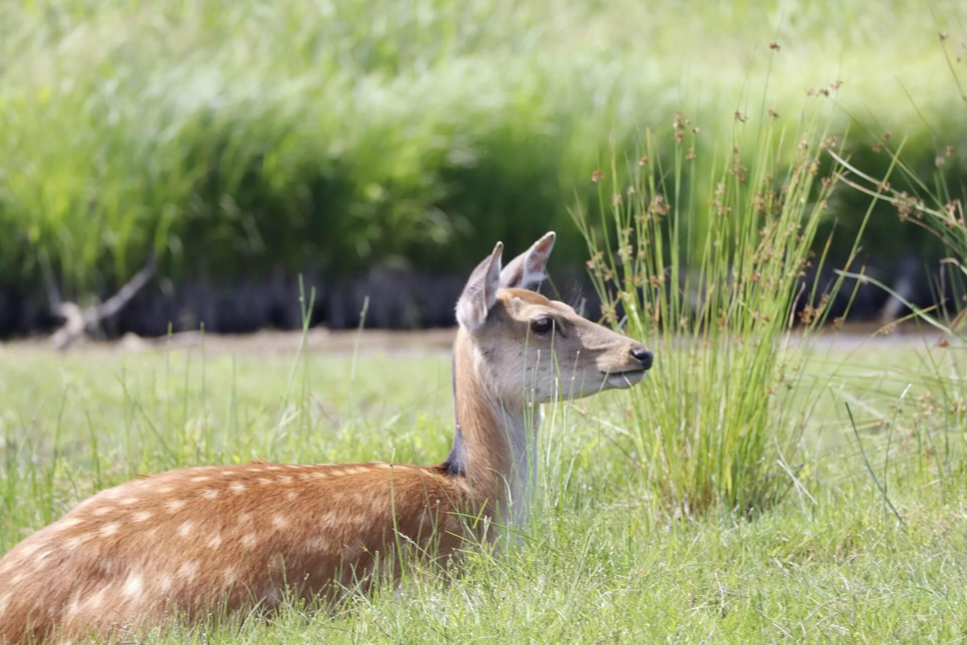 shika-spotted-deer-wildlife
