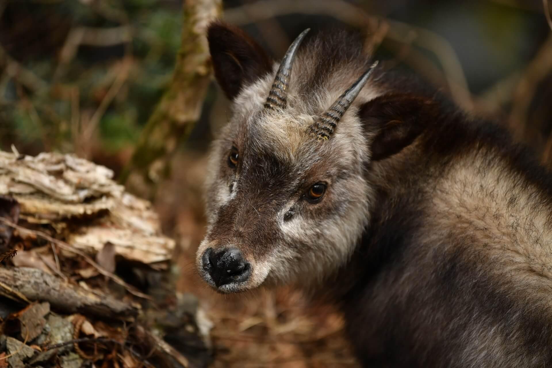 kamoshika-wildlife