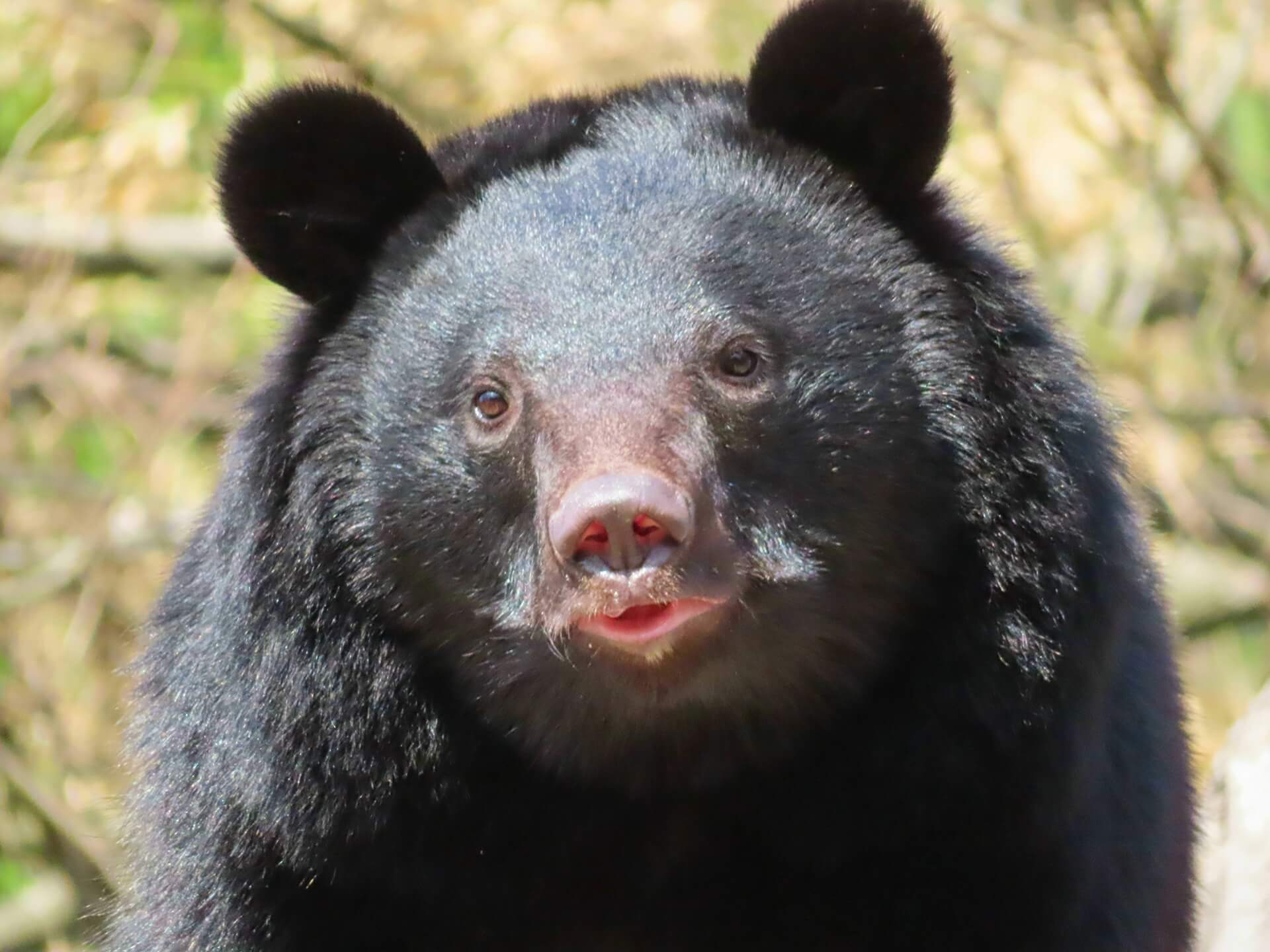 black-bear-wildlife