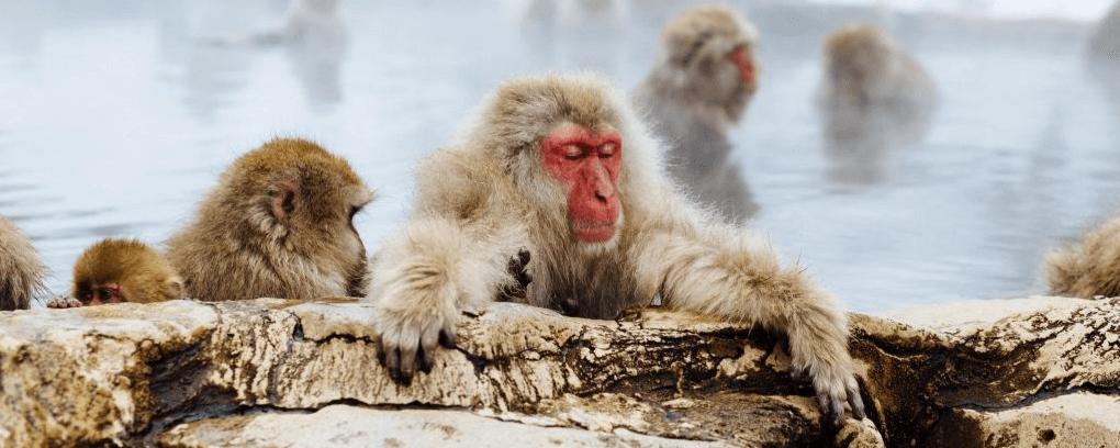 bathing-monkey-banner
