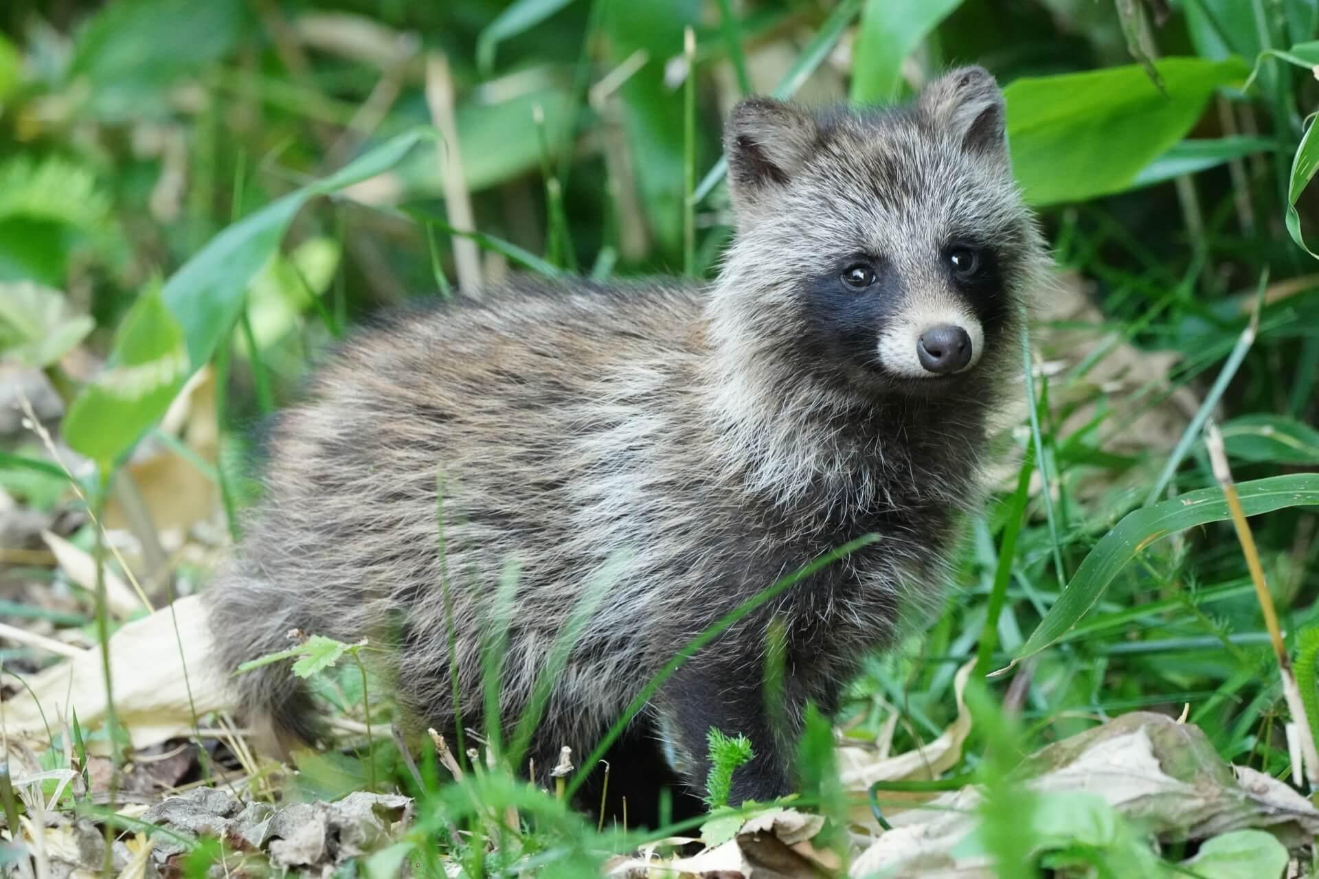 tanuki-wildlife