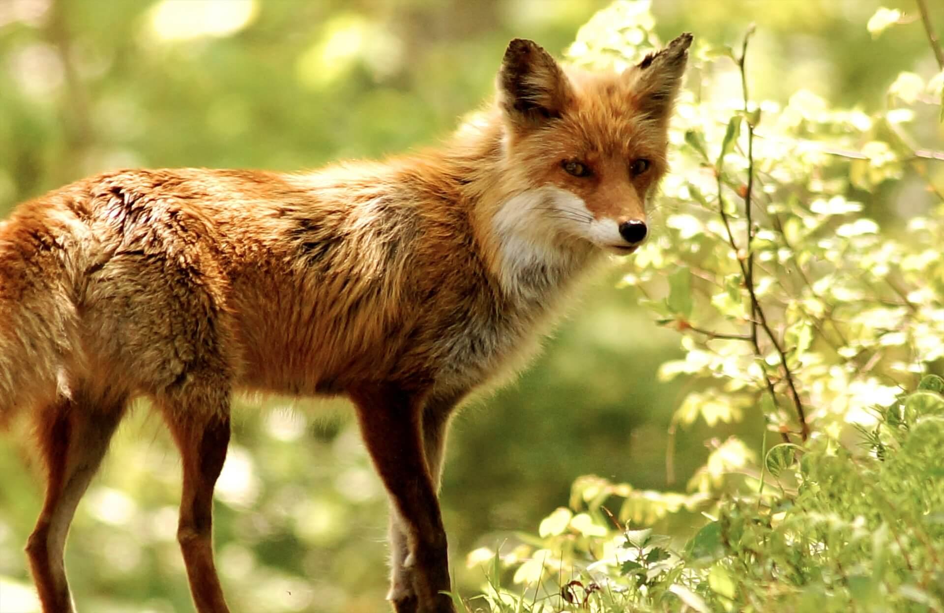fox-wildlife