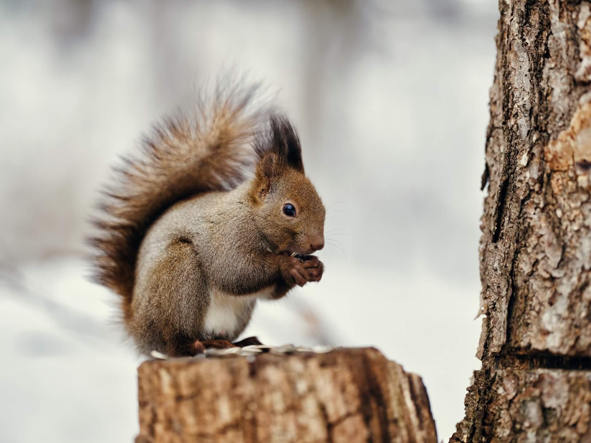 squirrel-wildlife