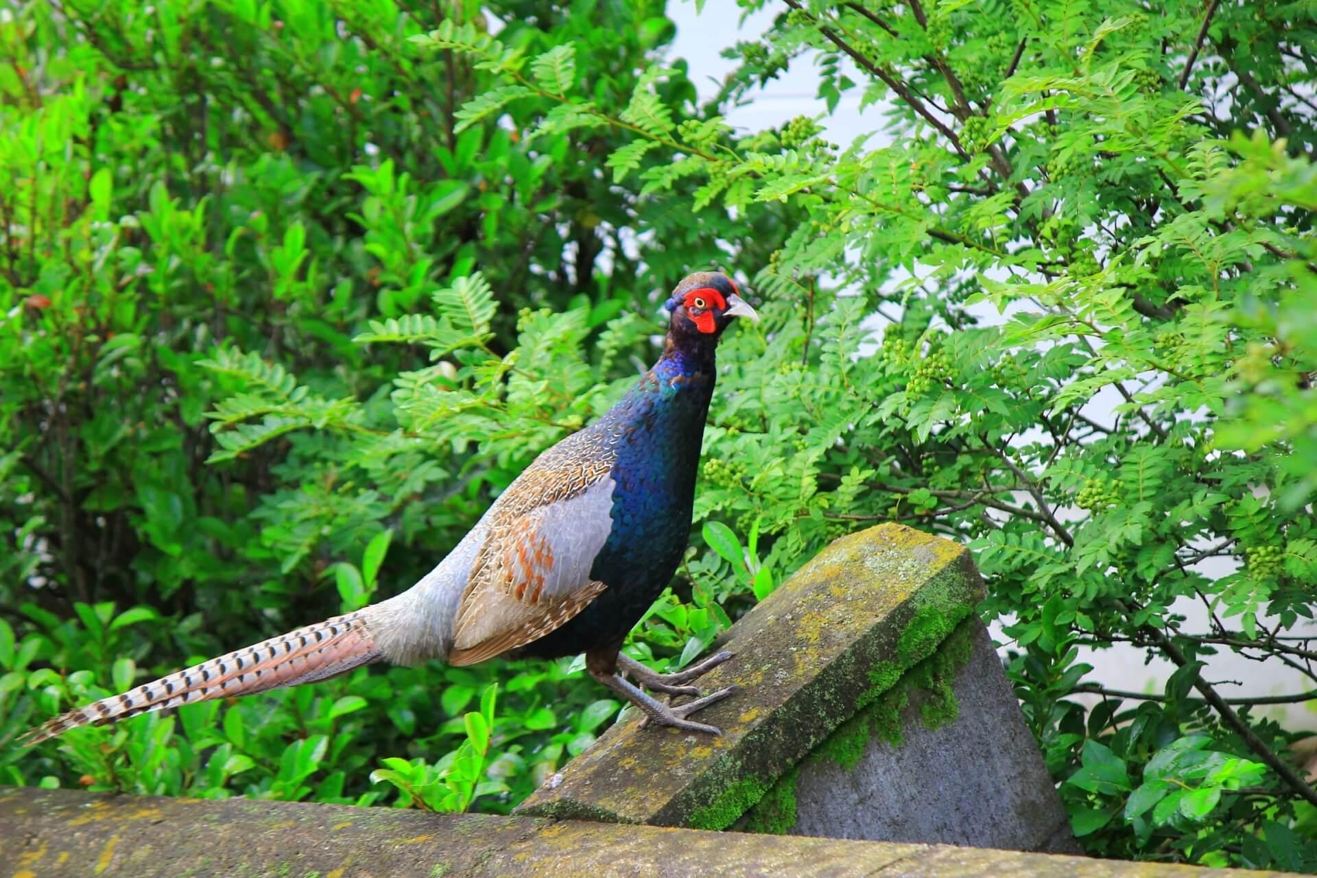 kiji-green-pheasant-wildlife