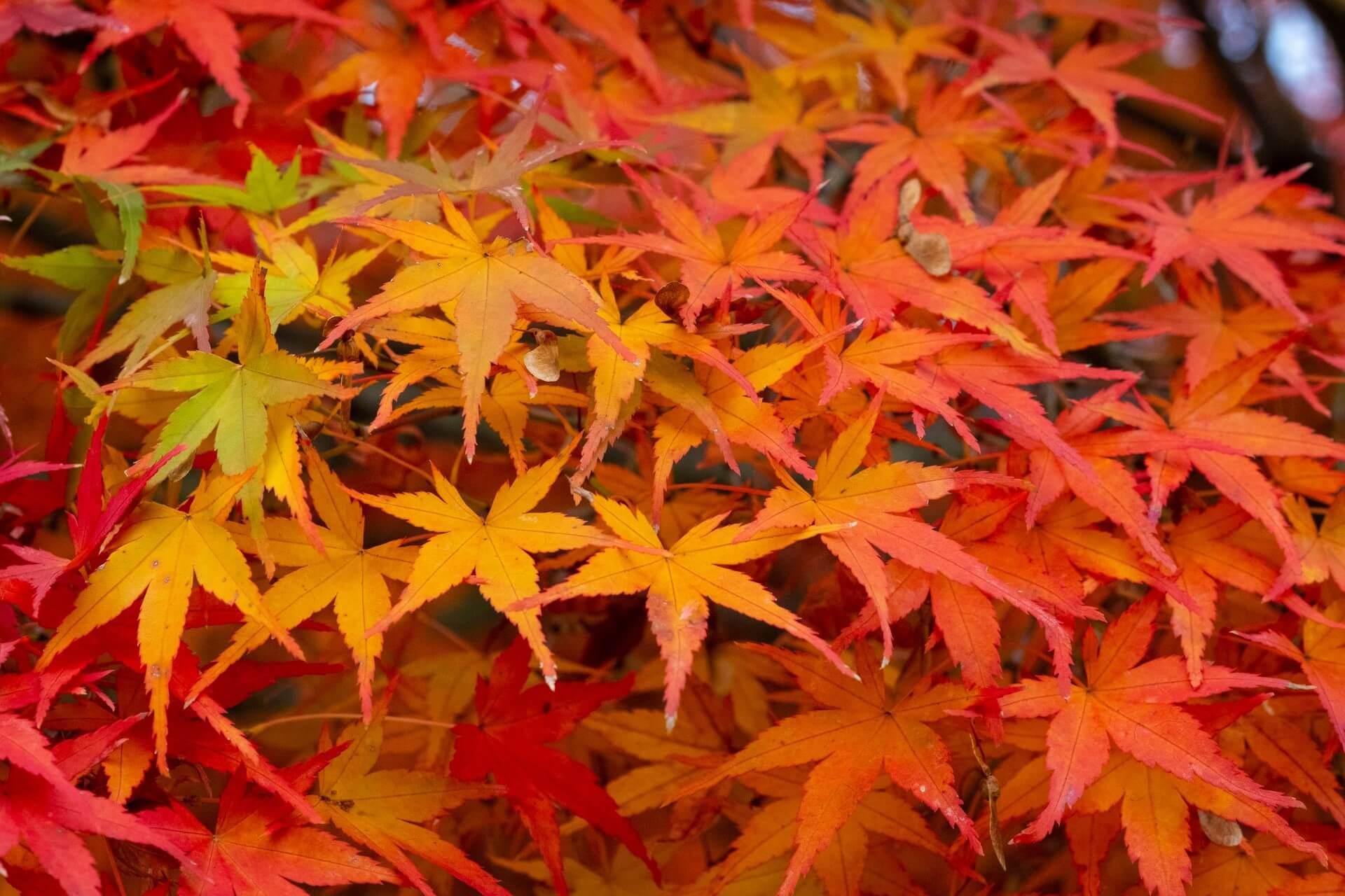 momiji-koyo-autumn