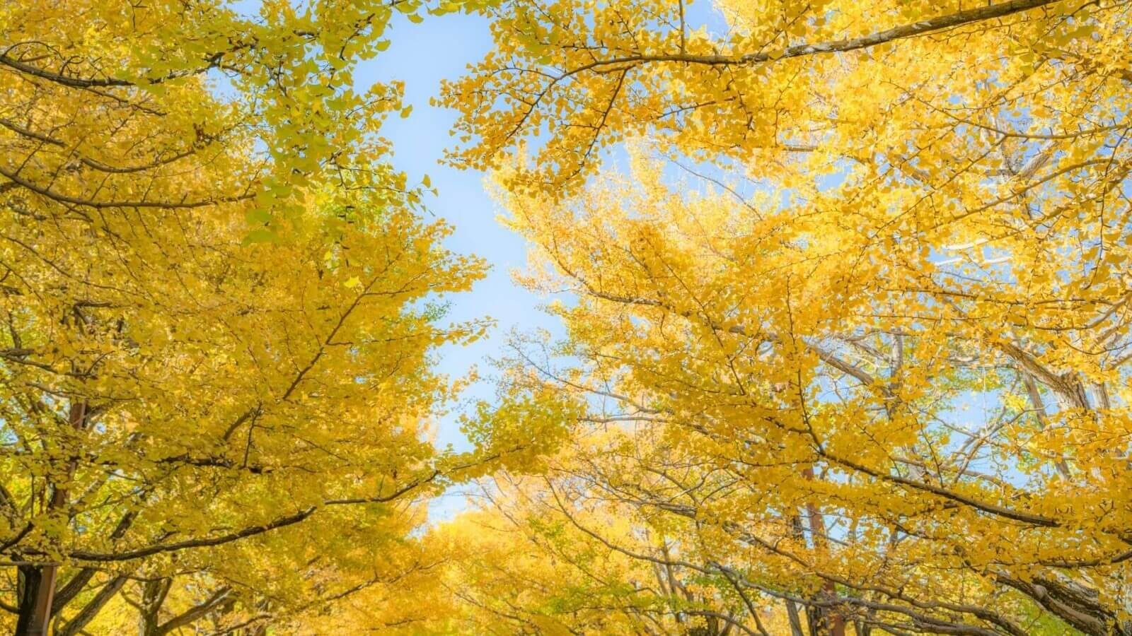 autumn-gingko-icho