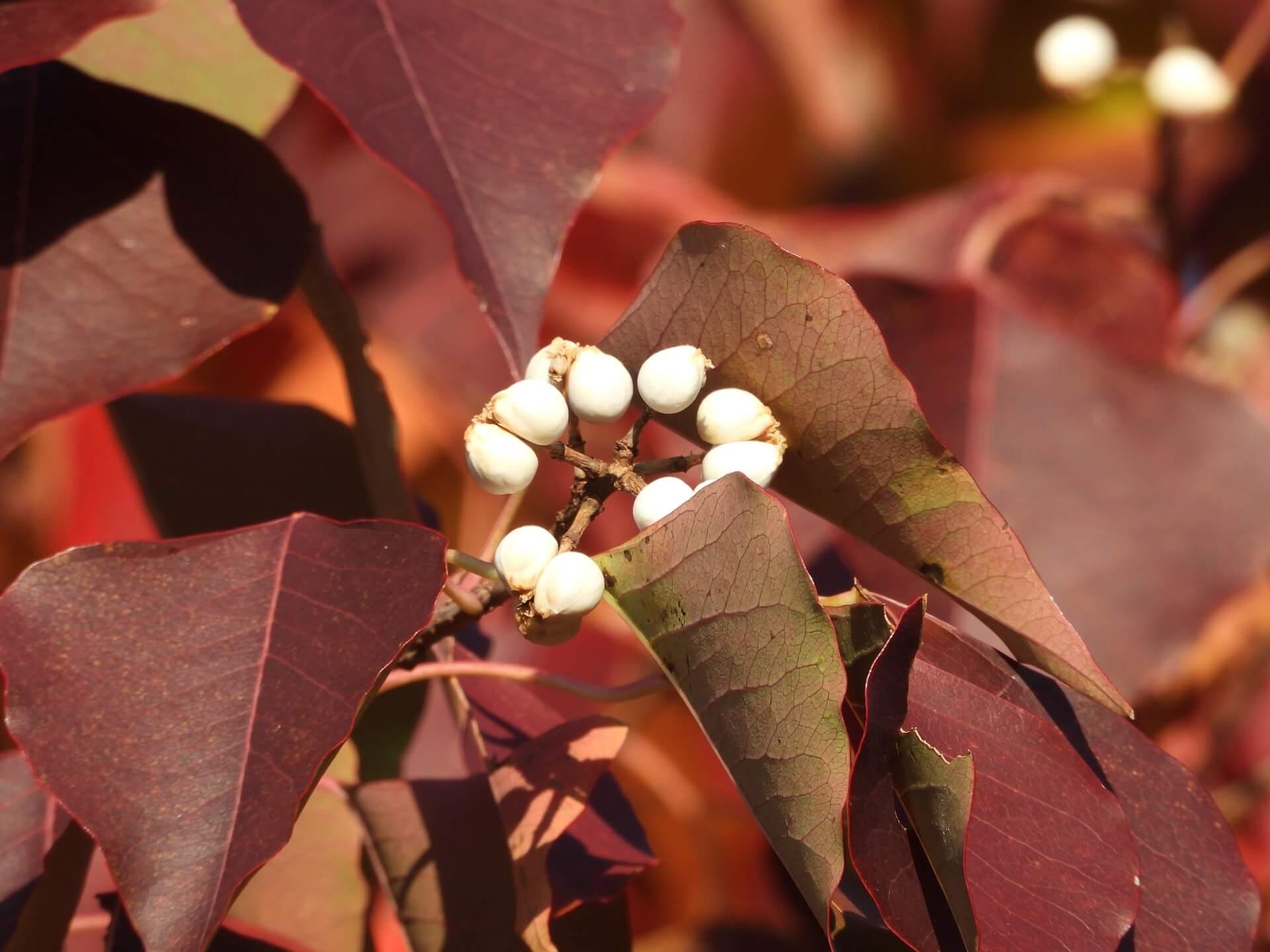 nankinhaze-autumn