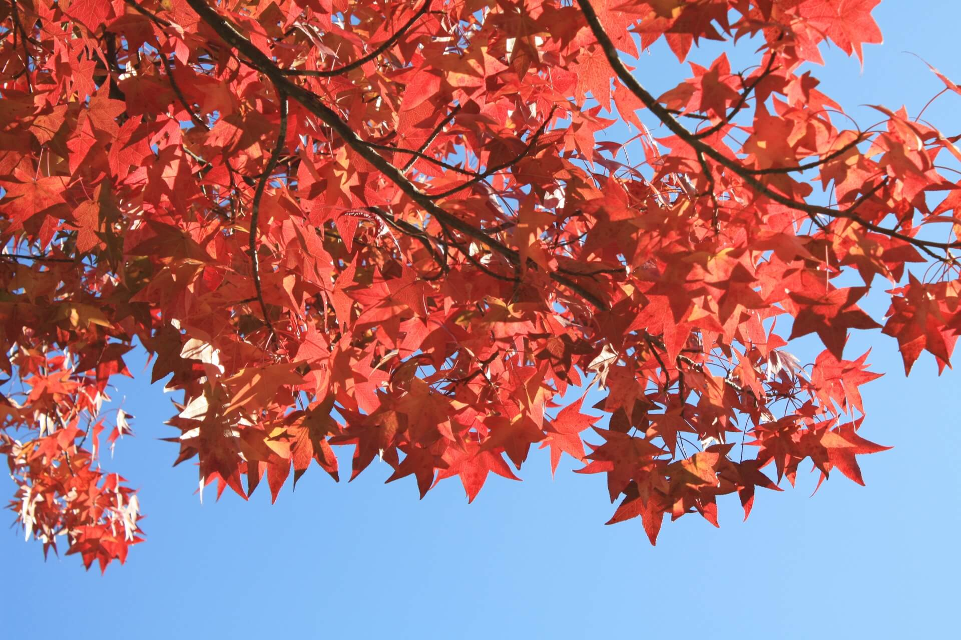 momijibafu-sweetgum-autumn